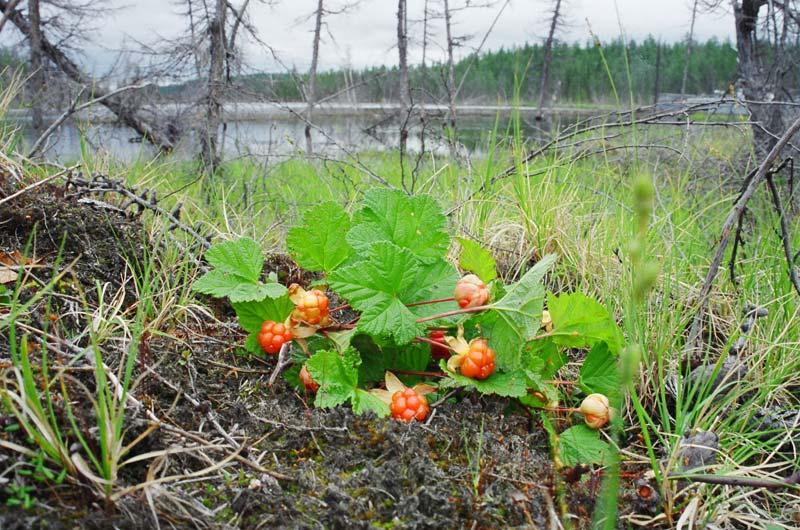 Тундра: ягода-марошка