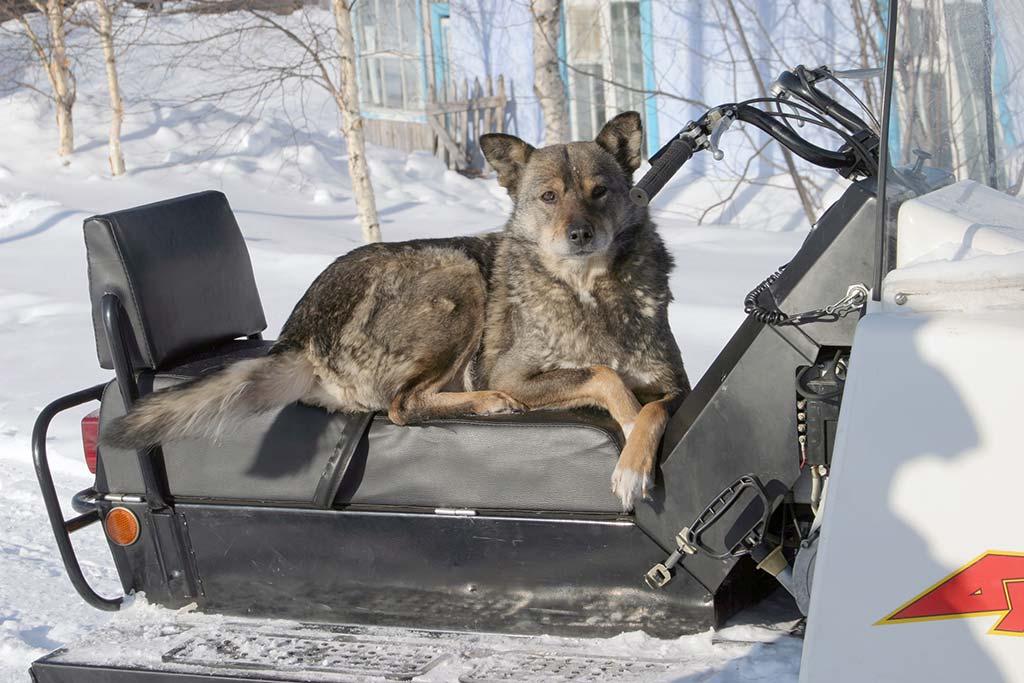 Собаки в Игарке