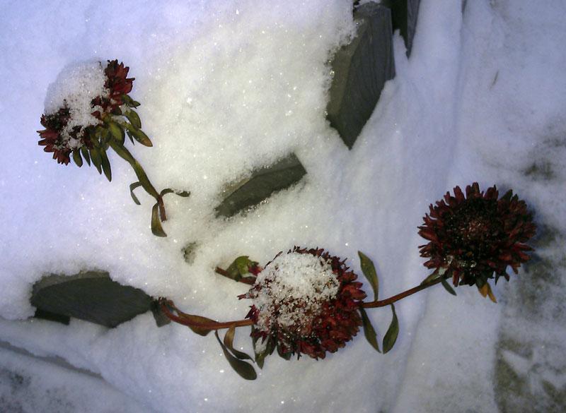 Герань на снегу